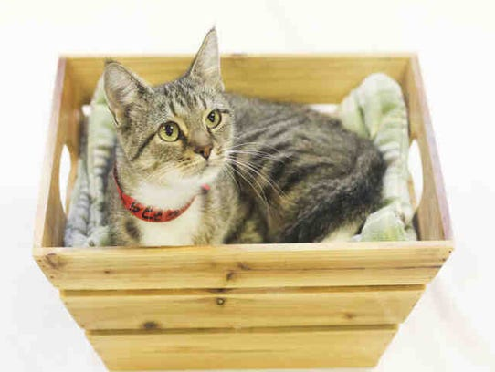 Dani, ID A167754, is a spayed brown tabby who has been