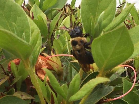 Bumblebee on Azalea Tree next to Turning Point International