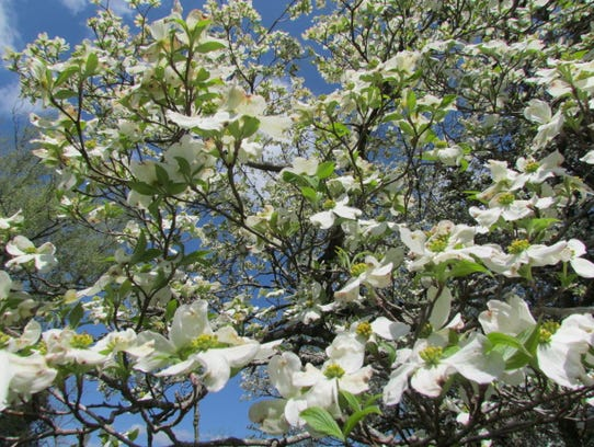 Dogwoods bloom all over East Tennessee.