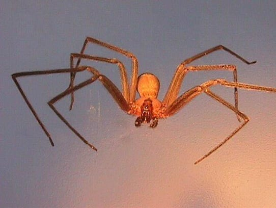 -  -brown recluse  spiders
