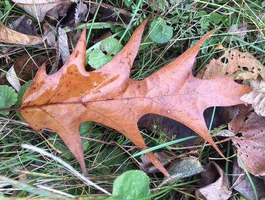 A fallen red oak leaf.