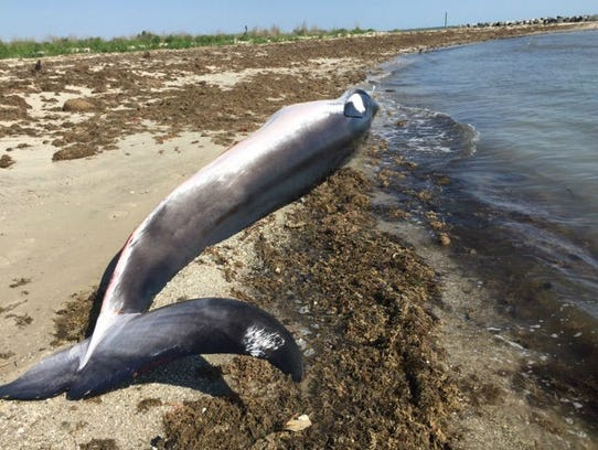 The National Oceanic and Atmospheric Administration has declared an unusual mortality event for minke whales after 29 were found dead or stranded along the East Coast.