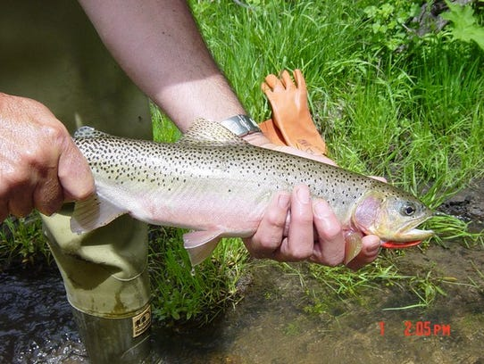 Westslope cutthroat, Montana's state fish, are increasing