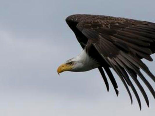 BGM eagle