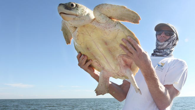 Jeff Schmid, of  The Conservancy of Southwest Florida, prepares to release a Kemp's ridley sea turtle near White Horse Key in the Ten Thousand