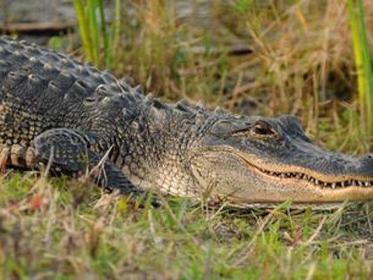 636670055603947859-Alligator2.jpg
