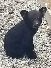 This little bear cub was spotted wandering around Corning