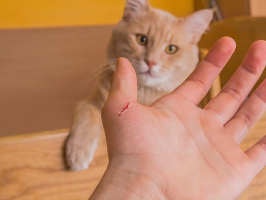 spayed cat in heat behavior