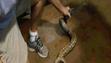 An anaconda was captured in a Melbourne neighborhood