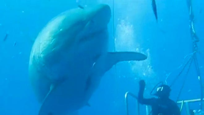 Diver Mauricio Hoyos Padilla and a great white shark.