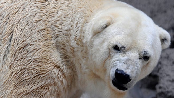 Arturo, the only polar bear in Argentina, lives in captivity at a zoo in Mendoza.