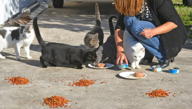 After a Sharpes resident passed away, the many cats that she fed are now inhabiting an area of the Sun Lake Village Estates neighborhood north of Cocoa.