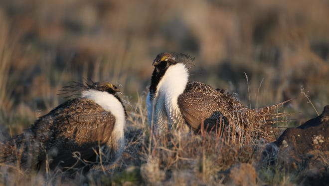 Sage grouse are a longtime fixture in Nevada's Great Basin environment.