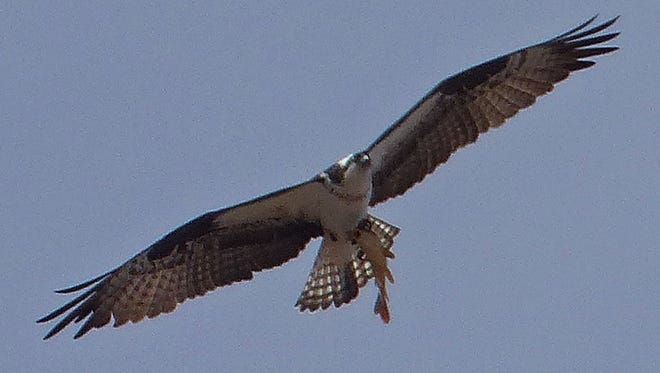An osprey heads to dinner.