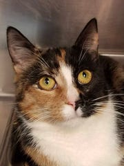 Meg is a 2-year-old calico girl who was brought into the shelter as a stray. We don't know much about her, but she sure does like to purr and seems to keep an eye on everything going on. If you need a feline supervisor in your life, Meg's your gal!