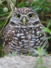 File: A burrowing owl guards his nest on Marco Island.
