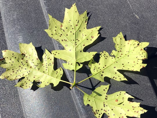 The oak that produced these leaves is not a true Shumard