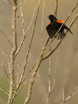 A red-winged black bird presents itself from a perch in Turkey Run Park at The Parklands. The birds are black with males having red and yellow patches on their wings and are commonly spotted near bodies of water perched on cattails. April 19, 2016