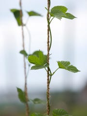 A young hops plant winds it way up a rope on Veering