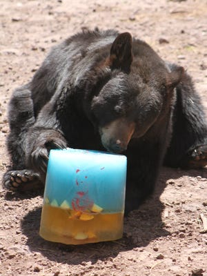 With no eye on any diets, a black bear polishes off a treat May 22 when Bearizona marked its 8th birthday.