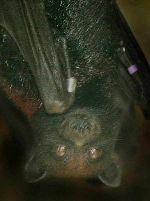 A fruit bat rests at Brevard Zoo in this 2001 file photo.