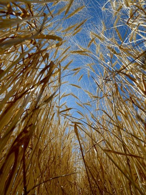 Wheat growers around the area are harvesting their crops amid falling wheat prices in the global economy.