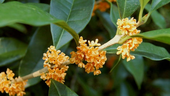 This variety of tea olive, Osmanthus fragrans auranticus, offers eye-catching orange flowers.