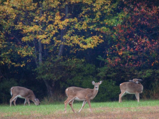 Deer on the grounds of Cape Henlopen State Park near Lewes