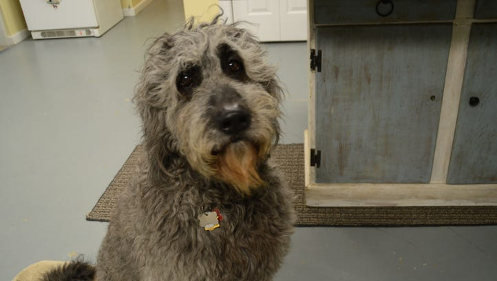 Bowdie, an Irish wolfhound mix adopted by William Berloni, during rehearsal for a Rachel Ray Nutrish commercial.