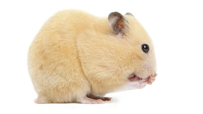 Hamster butts are cute, cuddly -- and taking over the viral animal scene.