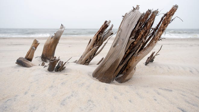 Assateague Island rolls over itself, as all barrier islands do, with the waves of the Atlantic churning up remnants of its past. Scientists believe the land may have shifted as far as 4 to 5 miles inland in the last 4,000 years. The remnants of red cedars poke through the beach in the OSV area.