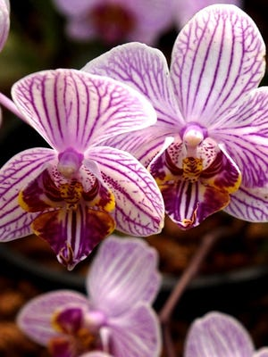 An orchid at Krohn Conservatory.