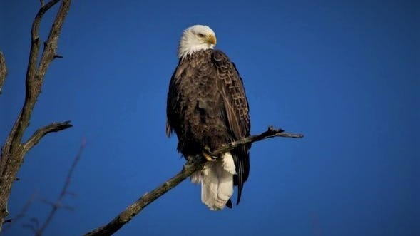 The Missouri Department of Conservation (MDC) and Dickerson Zoo in Springfield have teamed up to host MDC's first-ever online-only Eagle Days celebration Jan. 23 and Feb. 6. Advanced registration is recommended.