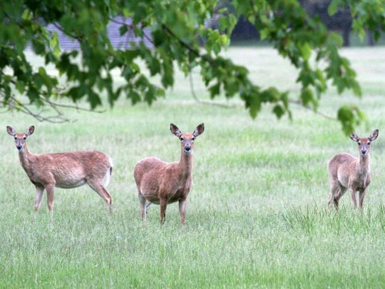Whitetail deer at Fort Monmouth