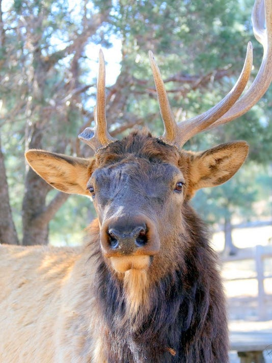 elk bull-with-one-antler