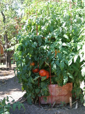"To learn more, attend the Grow Your Own, Nevada! ""Growing Tomatoes"" class, held 6-8 p.m. April 6. Register at www.growyourownnevada.com/."