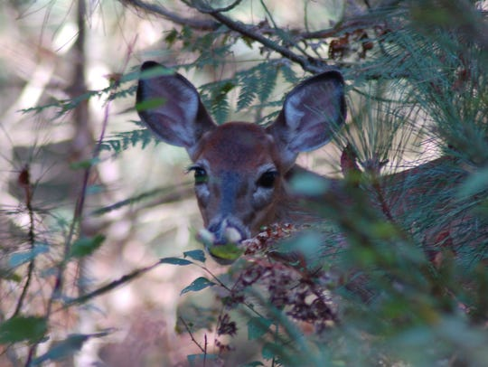 A nervous doe takes cover to hide from a young buck.
