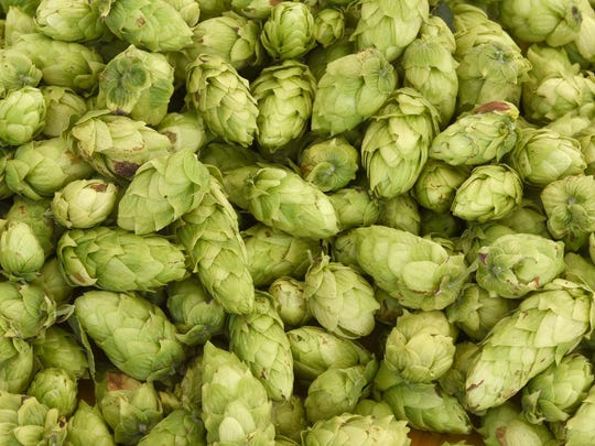 Recently harvested Cascade hops.