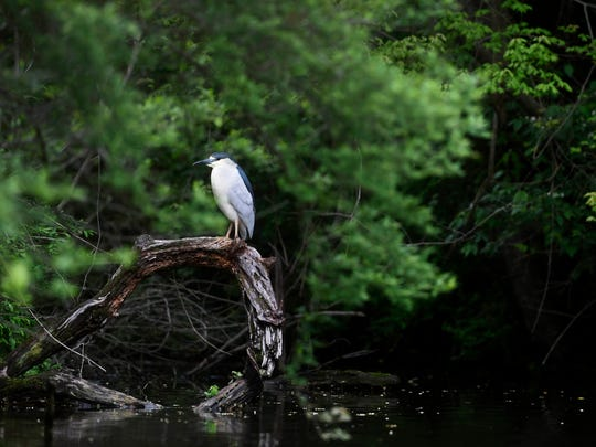Wildlife like this black-crowned night-heron can be seen from a boat on Lake Redman.