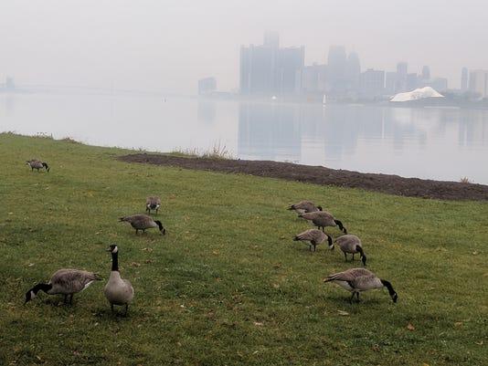 636453247996015216-Canada-geese-Belle-Isle.jpg