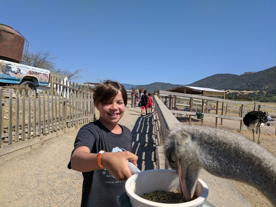 Iden Elliott feeds a hungry ostrich at OstrichLand