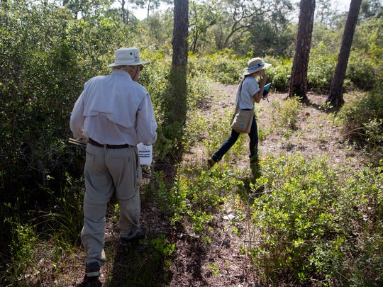Jim Rodwell and Marlene Rodak members of the Coccoloba chapter of the Florida Native Plant Society, walk through brush to find Curtiss' milkweed plants in a place secret to the public in Lee County on July 13, 2017. Due to habitat loss, the Curtiss' milkweed is an endangered native plant that is under close observation to preserve the species.