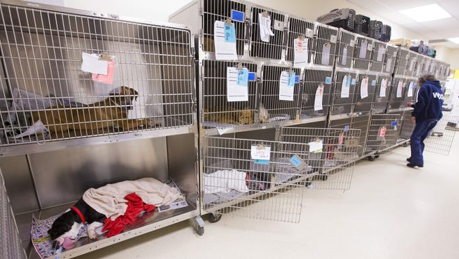 Animal health technician, Amy Andrews, looks after recovering spay and neuter dogs at the Maricopa County animal control in Phoenix on Feb. 24, 2017.
