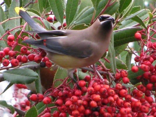 BirdWords-wxwingontoyon-JThesken.jpg