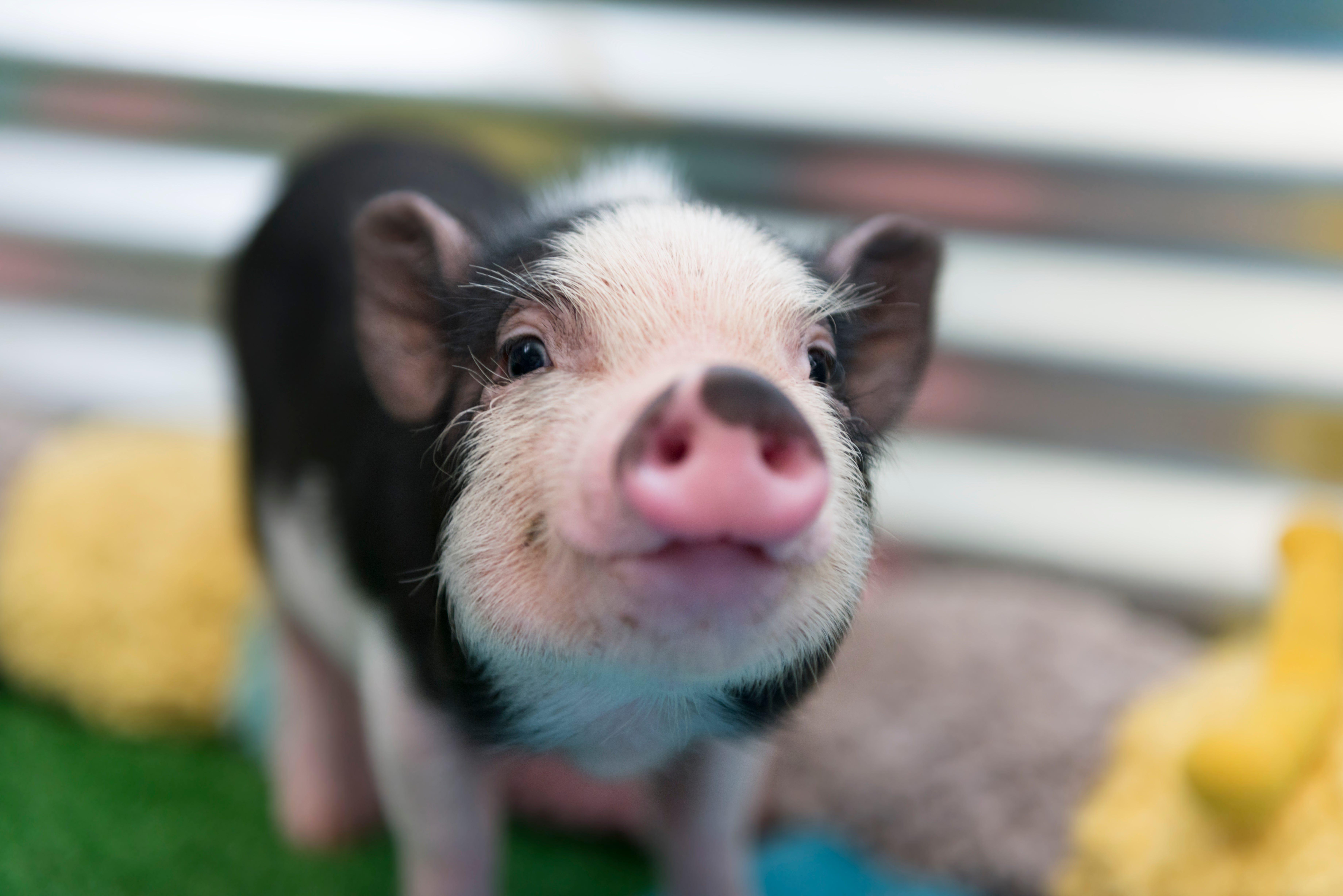 Pig Pals Sanctuary, Pet Pigs, Pot Bellied Pig Rescue