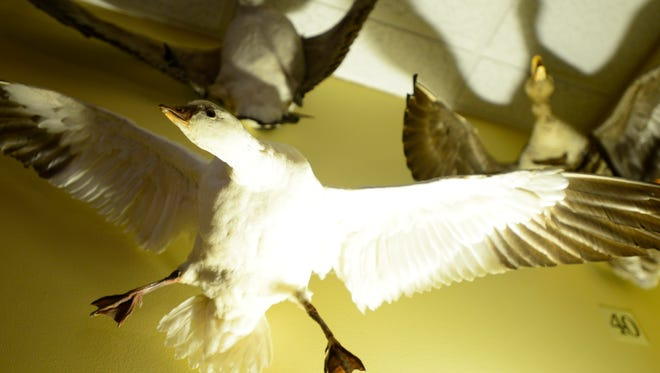 A taxidermy Ross's Goose, part of the waterfowl  display on the third floor of the Ottawa National Wildlife Refuge.