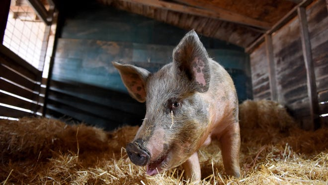 Wally the pig recently survived falling out of a semi truck on Interstate 90 on his way to the hog processing facility. SoulSpace Farm Sanctuary in New Richmond, Wis. is adopting Wally after no owner claimed him.