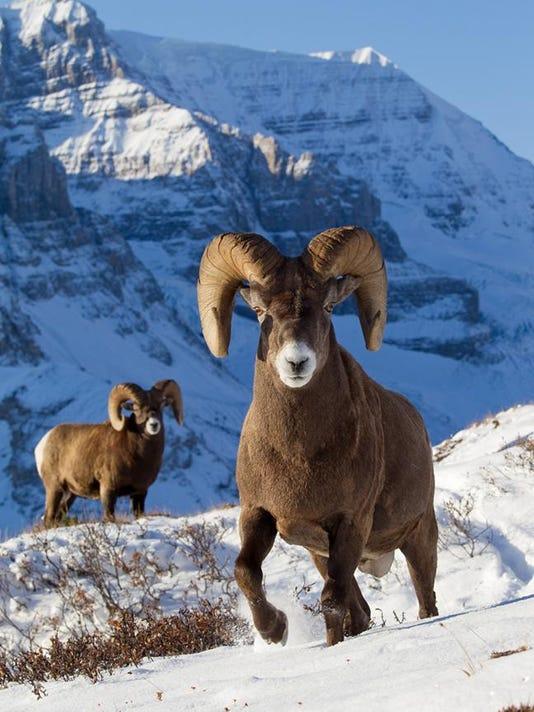 3 Bighorn Sheep