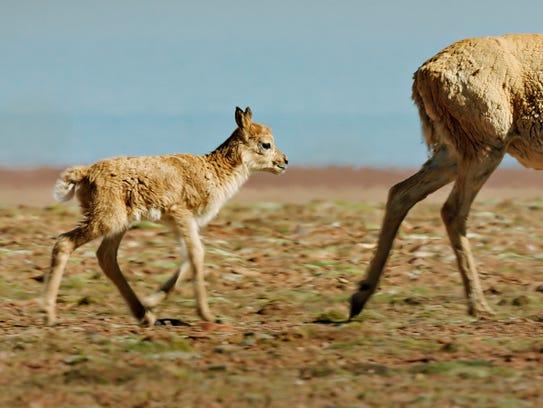 A chiru calf trails its mother in 'Born in China.'