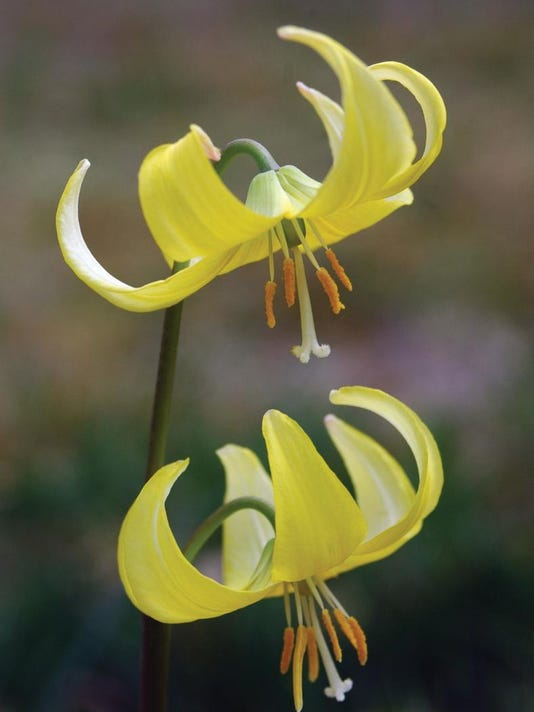 -native_troutlily.jpg_20070618.jpg